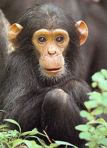 Chimpanzee-Chimps are quite intelligent and very similar to humans. Stars like Michael Jackson had a chimp as pet.