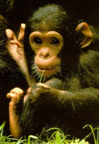 a young chimpanzee